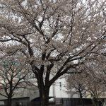 桜の咲く季節ですね(*^^*)